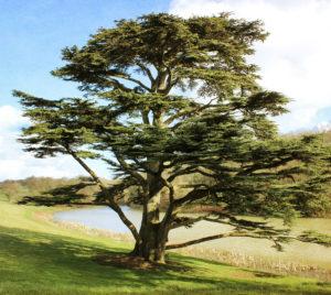 Árbol de cedro del líbano