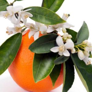 Flor del naranjo para preparar aceite de neroli