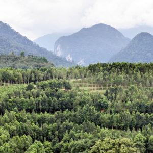 Plantación de árboles Aquilaria en Indonesia