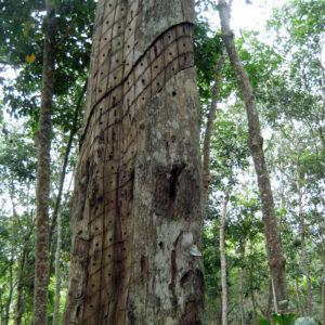 Tronco vivo para extraer madera de Agar